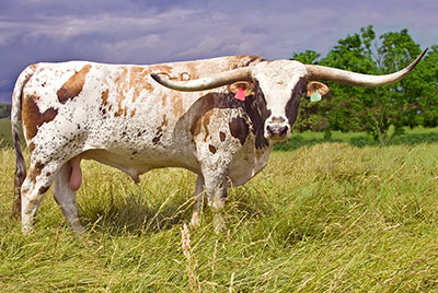 Texas Longhorn Reference_Sire - Super Fast - Photo Number: U_2824.jpg