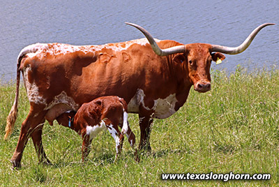 Texas Longhorn Pair - Senachoo - Photo Number: g_4597.jpg