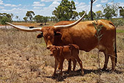 Drag iron daughter with Tempter calf at side. All AI in Australia.