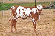 Fantasy_ Heifer calf sired by Tempter