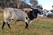 "Bull winner of under 4 Yrs Southern Cross Iron Bark 75-1/4""(Australia)"