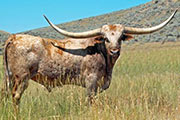 Texas Longhorn Sire - Top Caliber - Photo Number: TC-7-09-R.jpg