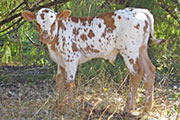 AF Overwhelming VictoryVictory Lap x MR3 Overwhelming Holly bull calf DOB: 08/11/2010