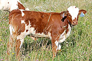 a_4044.jpg - Pig Feathers x Top Hand - 2014 Heifer
