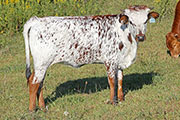a_6570.jpg - Look Out! x Drag Iron - 2014 heifer