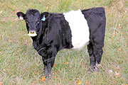 a_8687.jpg - Dip Tally x Graphic Progress - 2014 Heifer