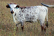 a_8735.jpg - Look Out! x Drag Iron - 2014 Heifer