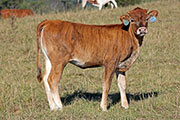 b_5289.jpg - Sought Clear x Tibbs - 2015 Heifer