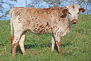 b_7771.jpg - Rusty Tool x Top Hand - 2015 Heifer