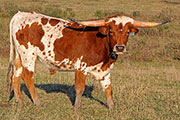 c_8240.jpg - Game Changer x Rodeo Max - 2014 Steer