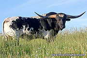 Texas Longhorn Sire - Non Stop - Photo Number: d_3210.jpg