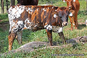 d_5880.jpg - Hand Slap x Drag Iron - 2017 Heifer