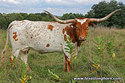 Texas Longhorn Dam - Sweetheart - Photo Number: d_6037.jpg