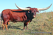 Texas Longhorn Sire - Clear Point - Photo Number: d_7454.jpg