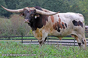 Texas Longhorn Sire - Reckon So - Photo Number: e_7198.jpg