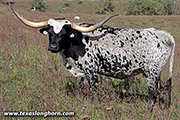 Texas Longhorn Dam - Darkened Drag - Photo Number: f_10774.jpg