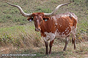 Texas Longhorn Dam - Obvious Top - Photo Number: f_8149.jpg