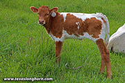 g_3069.jpg - Tuff Smirk x Point Mark - 2020 Heifer