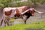 Texas Longhorn Sire - Iron Span - Photo Number: g_4291.jpg