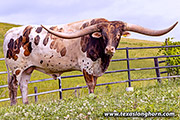 Texas Longhorn Sire - Drop Box - Photo Number: g_5598.jpg