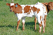 jv_0240.jpg - Sam I Am x Super Fast - 2009 Heifer