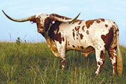 Texas Longhorn Sire - Super Bowl - Photo Number: p_2367_d.jpg