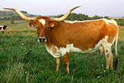 Texas Longhorn Dam - Not_So Fast - Photo Number: p_2758.jpg