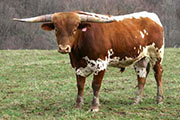 Texas Longhorn Sire - Winsome - Photo Number: r_630.jpg