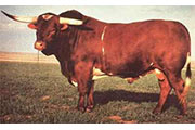 Texas Longhorn Sire - Senator - Photo Number: senator.jpg