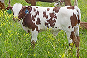 u_2893.jpg - Win City x Tempter - 2008 Bull Calf