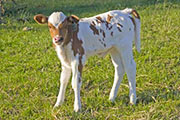 v_0816.jpg - Sam's Temptation x Super Fast - 2009 Heifer