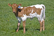 v_0833.jpg - Not Lethal x Super Fast - 2009 Heifer