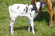 v_1031.jpg - Just Score x Super Fast - 2009 Heifer