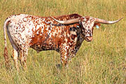 Texas Longhorn Sire - Jolter - Photo Number: y_3412.jpg
