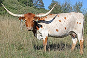 Texas Longhorn Dam - Markster - Photo Number: y_5210.jpg