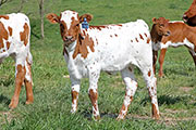z_2527.jpg - High Tide x Clear Win - 2013 Heifer